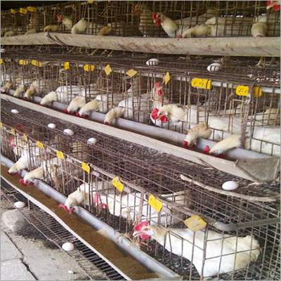 How To Start Layer Poultry Farming Poultryreporter Com