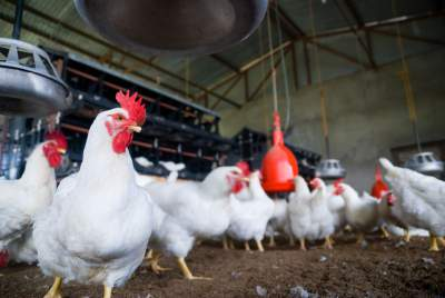 Starting A Poultry Farm Business For Beginners Poultryreporter Com